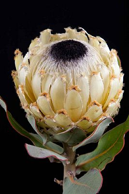 Protea-Protea Barbigera Snow Queen