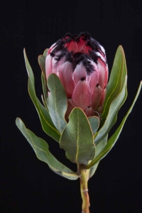 Protea - Protea Black Beauty