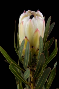 Protea - Protea White Night