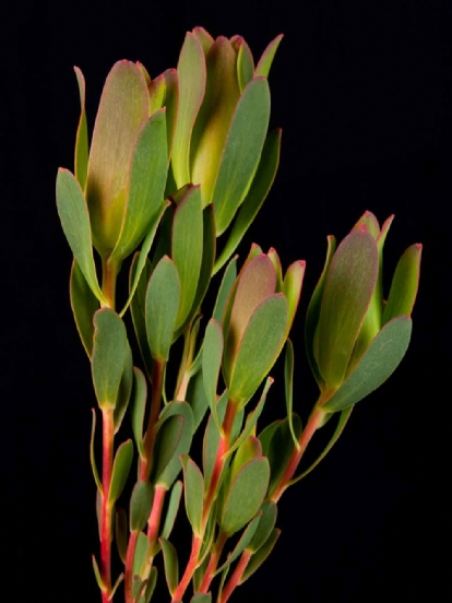 Leucadendron - Leucadendron Mountain Rose Spray